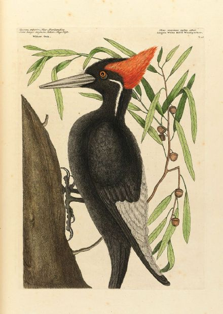 Catesby, Mark: Large White Bill'd Woodpecker. Fine Art Print/Poster (4745)